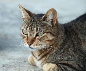 730px-Felis silvestris - July 2007-1.jpg